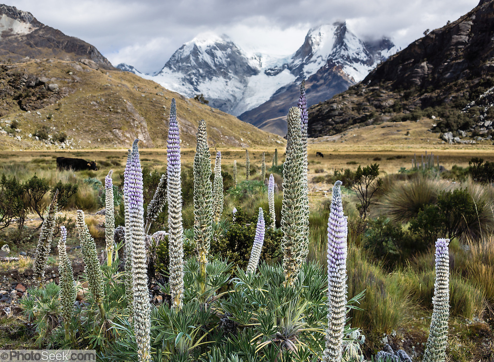 In the Andes, the Lupinus weberbaueri plant has a giant flower stalk that can grow nearly 2 meters high. Lupinus (common name lupin or lupine) is a genus in the pea family (also called the legume, bean, or pulse family, Latin name Fabaceae or Leguminosae). As a day trip by car and foot from Huaraz, hike to Lake 69 (4600 meters elevation, 8 miles round trip with 800 meters gain) in the Cordillera Blanca, Peru, South America.