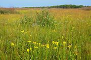 Tall grass prairie in bloom<br /> Tolstoi Tall Grass Prairie Preserve<br /> Manitoba<br /> Canada