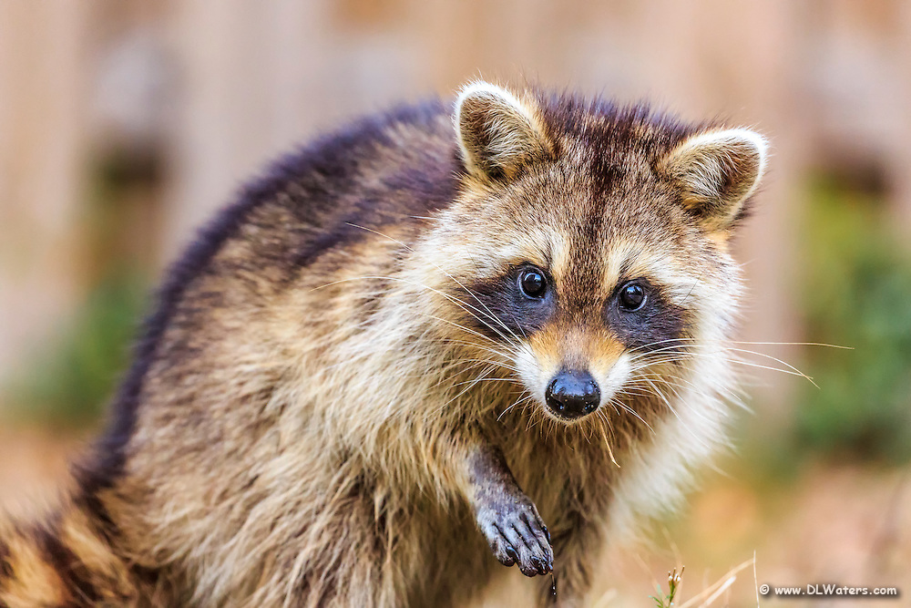 Raccoons are frequent back yard visitors.