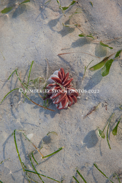 A crinoid or Featherstar (species unknown) at Town Beach, Broome.