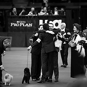 February 11, 2013 - New York, NY : .Images from the 2013 Westminster Kennel Club Dog Show at Madison Square Garden on Monday evening. The winners of the toy division, at center, celebrate in the ring.   .CREDIT: Karsten Moran for The New York Times