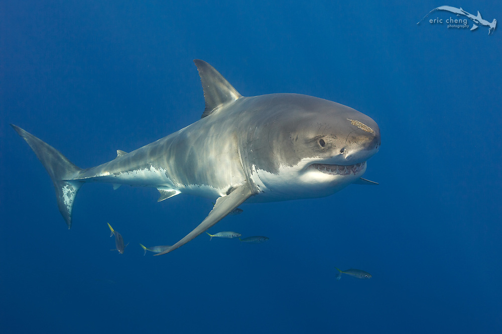 Great white shark (Carcharodon carcharias) at Guadalupe Island, Mexico