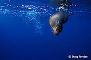 Galapagos sea lion, Zalophus californianus wollebacki or wollebaeki, northern Galapagos Islands, Ecuador, ( Eastern Pacific Ocean )