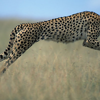 Kenya, Masai Mara Game Reserve, Adult Female Cheetah (Acinonyx jubatas) leaps through tall grass on savanna in attempt to chase away Hyena from cubs