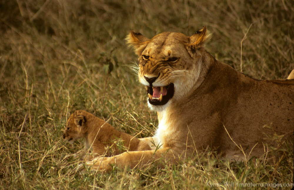 East Africa, Kenya. Mother lioness protecting cub