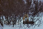 Red Fox, Fox, Winter, Snow, Canada, Hide, hidden, camouflage
