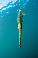 Longnose Gar<br />