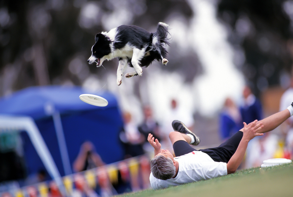 Taylor, a Border Collie, leaps for a Frisbee as trainer Tom Clements watches during the Dog Chow Incredible Dog Challenge competition in San Diego, California.