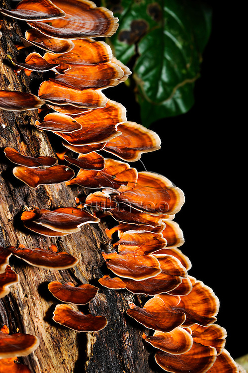 Bracket Fungus growing on tree trunk, Maliau Basin, Sabah, Borneo, East Malaysia.