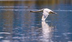 THEMENBILD - ein Hoeckerschwan im Flug, aufgenommen am 30. April 2016, am Zeller See, Zell am See, Oesterreich // a Mute Swan in flight over the Lake Zell, Zell am See, Austria on 2016/04/30. EXPA Pictures © 2016, PhotoCredit: EXPA/ JFK