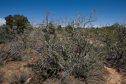 Mexican Cliff-Rose (Purshia mexicana), Hovenweep National Monument, Colorado and Utah.