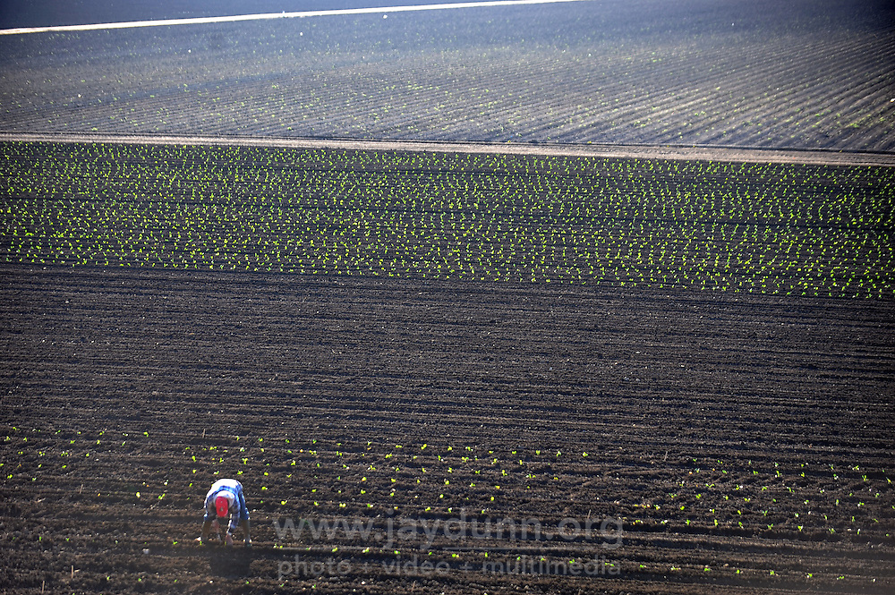 In the Wednesday morning sunshine, a solitary worker plants seedlings in the fields bounded by E. Laurel Avenue and Natividad Road in Salinas. Some leafy greens can stand the cool January evening temperatures.