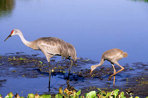 Sandhill Crane, (Grus canadensis) In Myakka State Park. Florida.