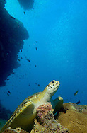 A green turtle rests on the reef, watching the schools of fish racing here and there. Great Barrier Reef, Australia.