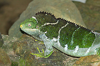 Crested Iguana photo Kula Eco Park Fiji