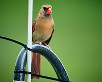 Northern Cardinal Image taken with a Nikon D5 camera and 600 mm VR lens