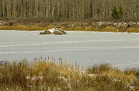 Beaver lodge in frozen lake, Red Deer, Alberta, Canada   Photo: Peter Llewellyn