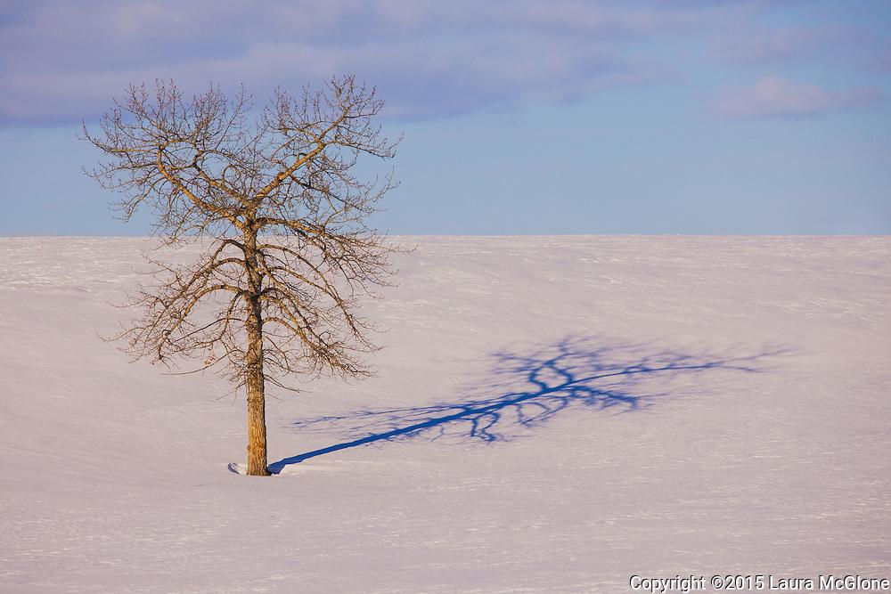 Solitary Tree In Snow, Alberta Canada
