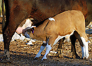 Israel, Negev, Lachish region, Free roaming cattle grazing in the fields. Young calf breast feeding from his mother,