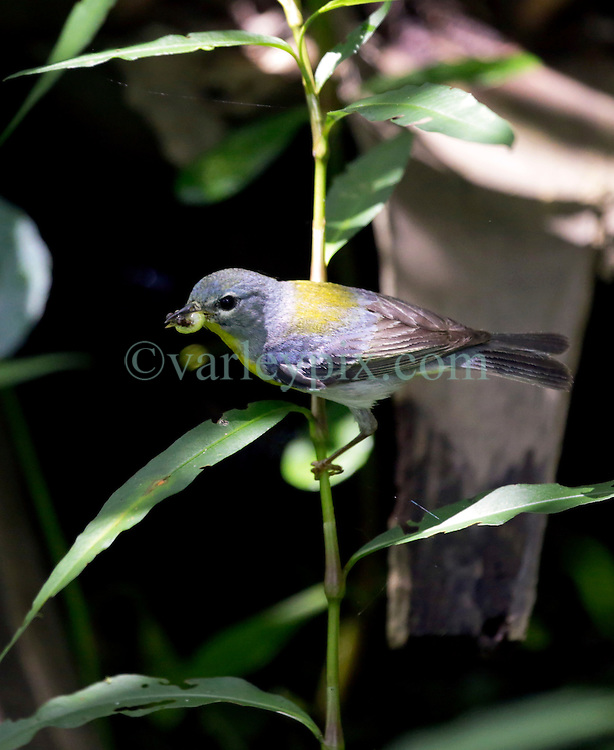01 June 2015. Jean Lafitte National Historic Park, Louisiana.<br /> The Northern Parula (Setophaga americana) is a small New World warbler. Seen here in the swamp at the Barataria Preserve wetlands south or New Orleans.<br /> Photo©; Charlie Varley/varleypix.com