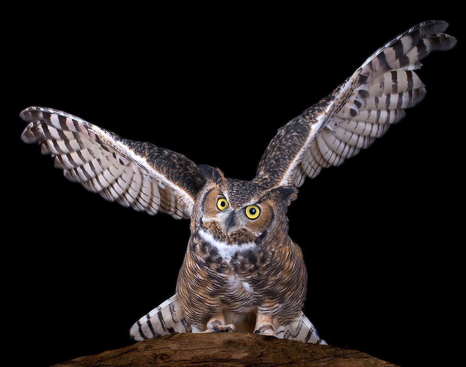 Great Horned Owls are found throughout North America from the northern treeline and then in Central and South America. They are resident year-round, however, birds living in the northern part of the species' range may migrate south.