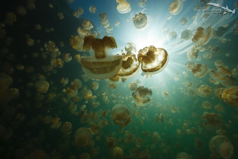 Millions of Mastigias sp. jellies follow the sun in Jellyfish Lake, Palau.