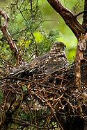 Female Cooper's Hawk protecting nestlings from hailstorm; Chiricahua Mountains, Arizona