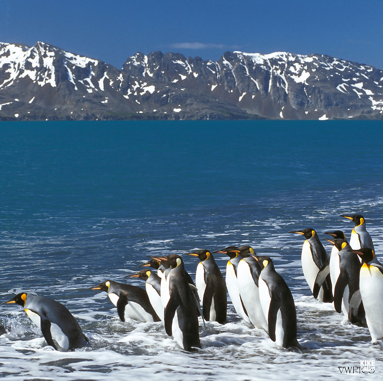 King penguin (Aptenodytes patagonicus), King penguins, Salisbury Plain, South Georgia, Antarctic region, K?nigspinguin, K?nigspinguine, Pinguin, Pinguine, S¸ggeorgien, Antarktische Region.