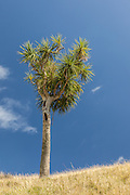Cabbage Tree, Puponga, New Zealand