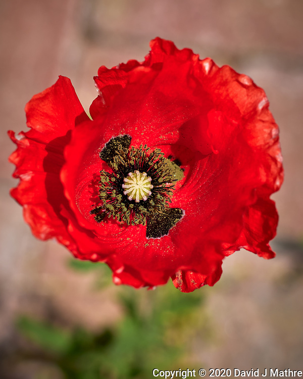 Red or Oriental Poppy. Image taken with a Leica CL camera and 60 mm f/2.8 lens