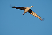 Bosque del Apache National Wildlife Refugem New Mexico, a Sandhill Crane (Chen caerulescens) flying to roost