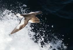 Antarctic Petrel (Thalassoica antarctica) in flight, Southern Ocean, Antarctica
