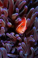 white-maned anemonefish , Amphiprion perideraion , in sea anemone , Heteractis magnifica Lembeh Strait, North Sulawesi, Indonesia