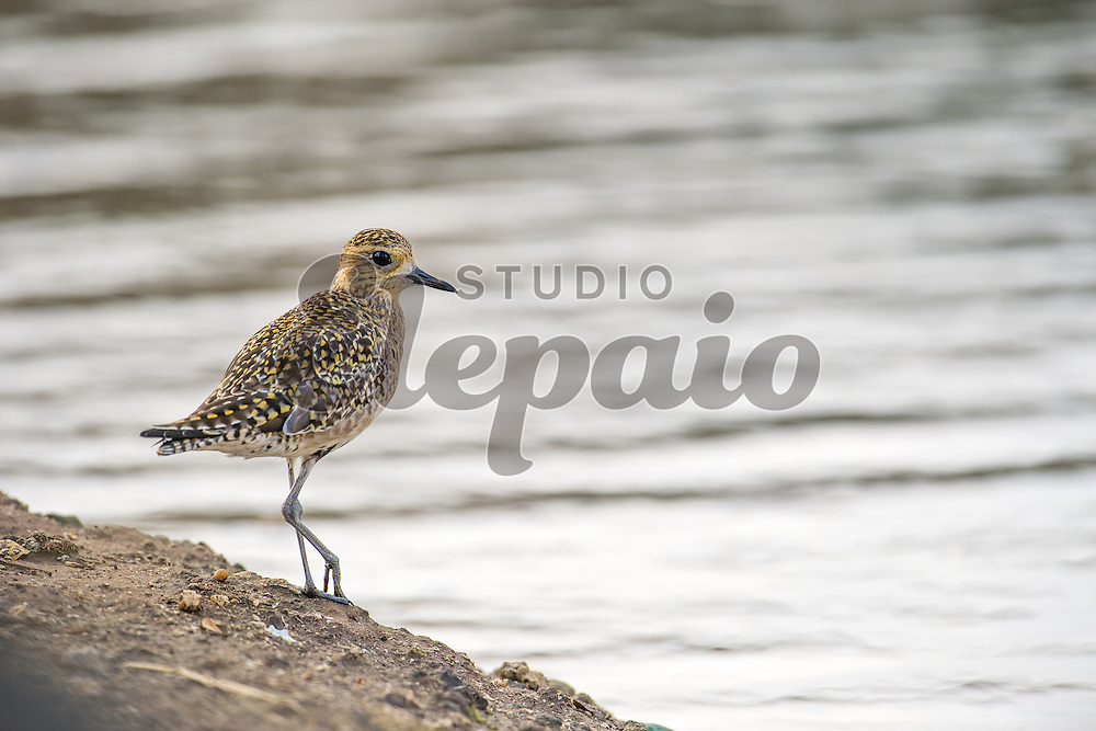 Pacific golden plover (Pluvialis fulva), or kolea in Hawaiian, in winter plumage. Photographed in February 2016 at Ala Moana Beach Park in Honolulu, Hawaii.