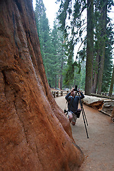 A male photographer photographs Giant Sequoia trees (Sequoiadendron giganteum), Sequoia National Park, California, United States of America