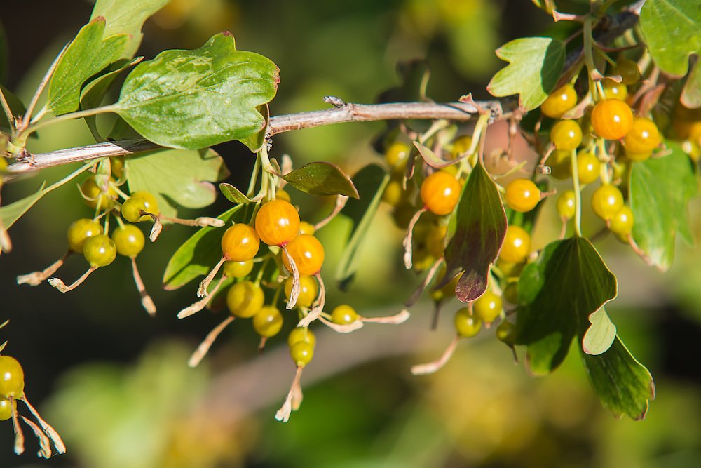 Wild golden currants vary in taste from plant to plant, much like other berry-producing plants. These currants range from light yellow to orange, red, and even black. Personally I think the orange and red ones are the sweetest, and the yellow ones (those that are fully ripe) are a bit bitter. All of them have large seeds inside, that are easier eaten than spit out. These were photographed (then eaten) in Cowiche Canyon, just to the west of Yakima, WA.