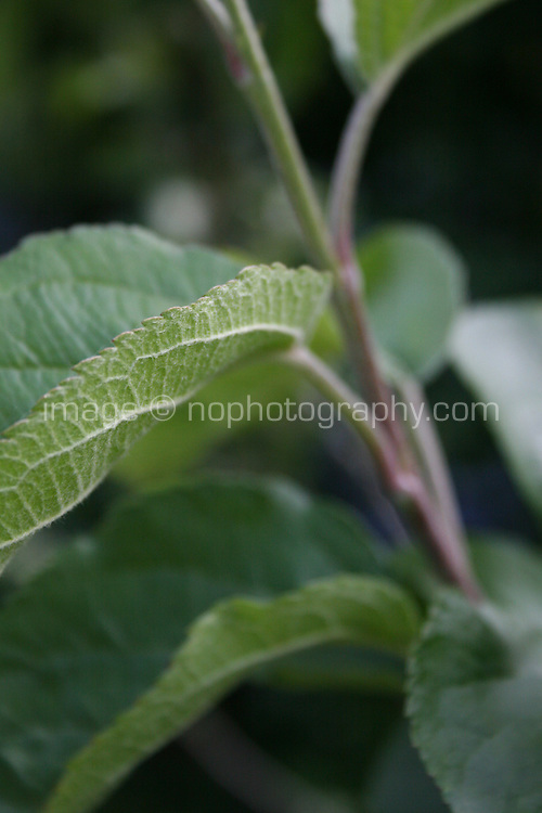 Leaf on apple tree