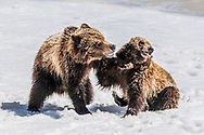 Left punch from 2 year old grizzly to its sibling.  Spring time in Grand Teton National Park.  Grizzly 610 (2008).   In spring there is often still a lot of snow around, here they are on the Ice at Oxbow Bend.