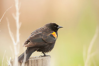 A Red Winged Blackbird sits on a fence post drying off after a short rainstorm.