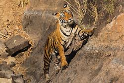 A Bengal tiger (Panthera tigris tigris) climbing a rock face, Ranthambhore National Park, Rajasthan, India,