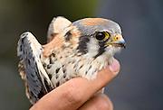 A male Kestrel waits to be released after being banded at Hawkwatch International's Goshute mountain research station. This hawk and raptor banding project is at the largest raptor migration flyway west of the Mississippi in the Goshute mountains of eastern Nevada.