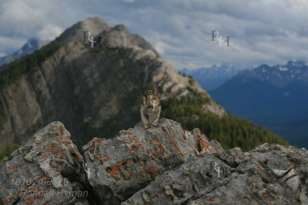 Golden-mantled ground squirrel (Callospermophilus lateralis) atop Sulphur Mountain in Banff National Park; Banff, Alberta, Canada.