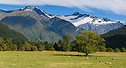 Sheep graze under the Southern Alps in Matukituki Valley, near Mount Aspiring National Park, South Island, New Zealand. In 1990, UNESCO honored Te Wahipounamu - South West New Zealand as a World Heritage Area. Panorama stitched from 2 overlapping photos.