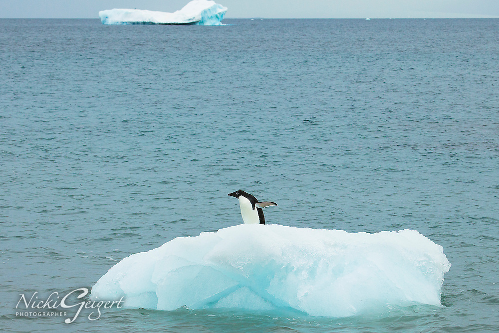 Penguin on a small iceberg at sea. Wildlife and Nature photography wall art, stock images | Nicki Geigert