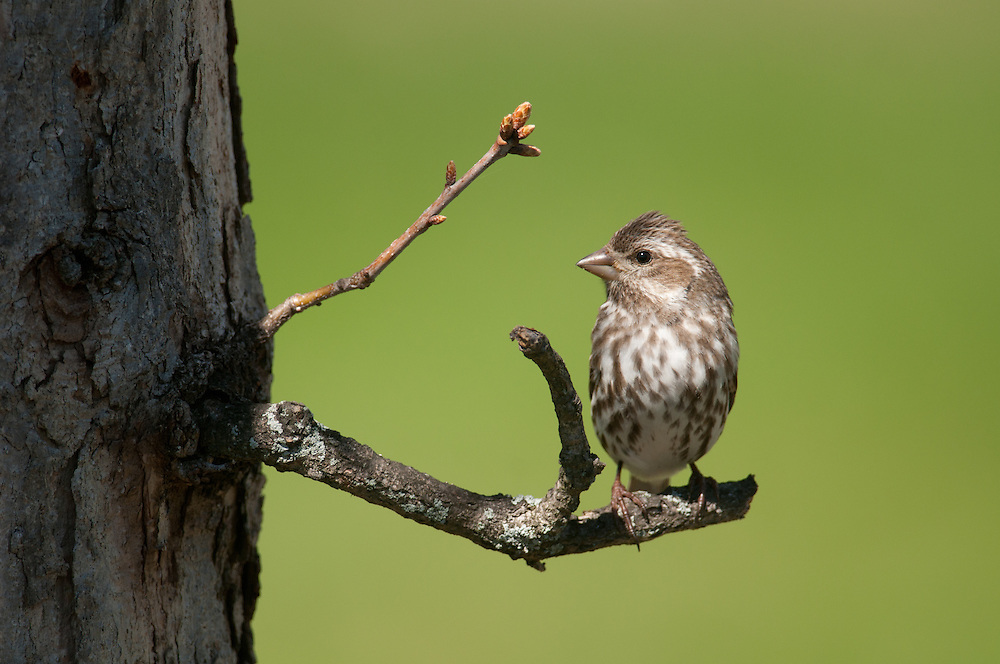 Female Purple Finch on tree branch in NY