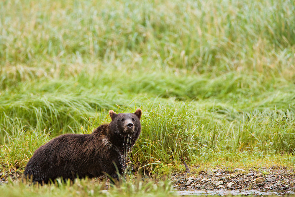 A wary brown bear fishing near a salmon stream in Windfall Harbor of Admiralty Island National Monument in the Tongass National Forest of Southeast Alaska.  Summer.  Morning.