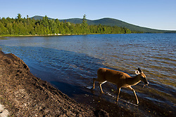 A whitetail deer doe, Odocoileus virginianus, feeds on the shoreline of Katahdin Lake in Maine's Baxter State Park