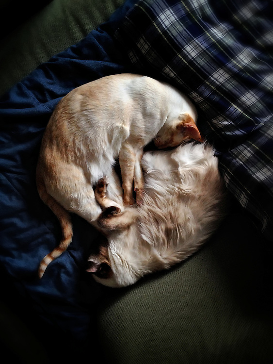 Wide shot of two Siamese cats sleeping, legs entwined.