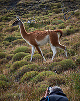 Photographer and Guanaco in Torres del Paine National Park. Image taken with a Fuji X-T1 camera and Zeiss 32 mm f/1.8 lens.