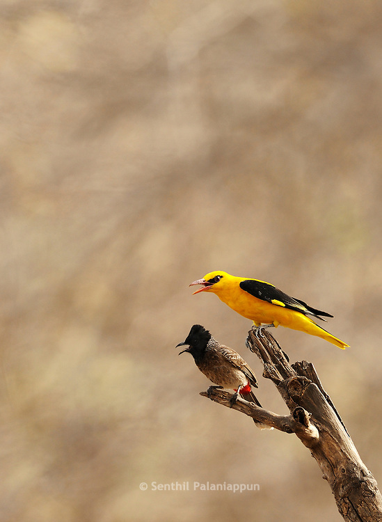 Golden Oriole and Bulbul on a a tree branch, Ranthambhore, India